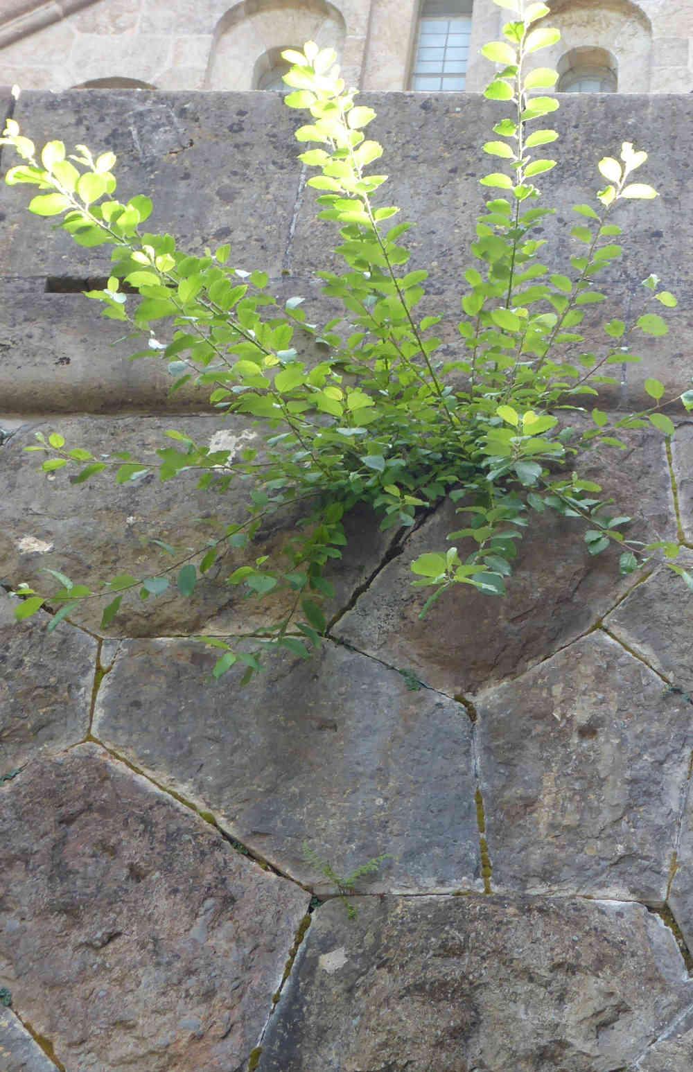 Federación de Mujeres de Schoenstatt, Planta crece de la pobreza de piedra