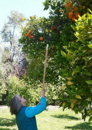 Schönstatt-Frauenbund, Chile, Orangenernte